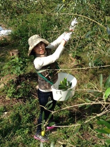 オリーブ収穫体験